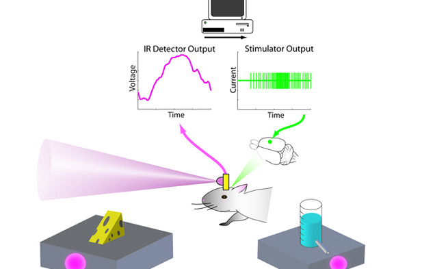 Infrared signals, which the rat senses through a device attached to its brain, lead the rat to a reward. The device enables the rodent to feel infrared light. (Figure courtesy of the Nicolelis Lab)